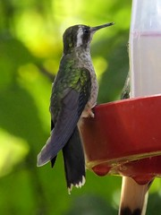 Adelomyia melanogenys (Fraser, 1840) - Speckled Hummingbird (Peter M Greenwood) Tags: adelomyiamelanogenys speckledhummingbird adelomyia melanogenys speckled hummingbird