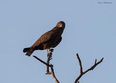 Brown Snake Eagle (sbuckinghamnj) Tags: bird botswana africa eagle brownsnakeeagle raptor