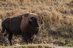 The Big One (Samuel Raison) Tags: bison bisons buffalo buffalos wildlife nature yellowstonewildlife yellowstonenationalpark yellowstone animal animauxsauvages naturephotography wildlifephotography photographieanimalière nikon nikkor nikond3 nikon4600mmafsgvr
