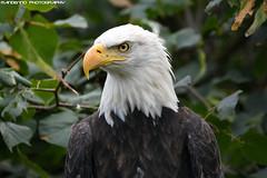 American sea eagle - Olmense Zoo (Mandenno photography) Tags: animal animals dierenpark dierentuin dieren olmense olmensezoo olmen belgie belgium american sea seaeagle eagle bird birds birdofprey