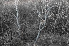 1810_1655 Aspen Coulee (wild prairie man) Tags: tremblingaspen populustremuloides trees almostmonochrome selectivedesaturation wild prairie aspencoulee grasslandsnationalpark saskatchewan canada copyrighted jamesrpage explored