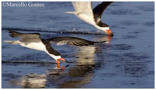 Black Skimmer(s) (Rynchops niger) BLSK -  Minnow Race (best seen large)