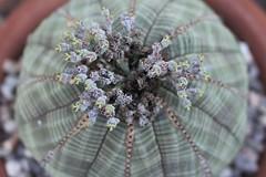 Basball Plant Flowers (sgnelson2) Tags: cactus flower succulent tucson