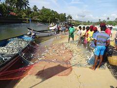 Bumper Fish catch - Mackerels (joegoauk73) Tags: joegoauk goa baga beach fish net canoe mackerels bangdde mackerel