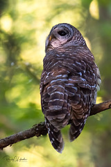 Barred Owl - Strix varia | 2018 - 9 (RGL_Photography) Tags: barredowl birds birdsofprey birdwatching gardenstate greatswamp morriscounty mothernature nature newjersey nikonafs600mmf4gedvr nikond810 northernbarredowl ornithology owls raptors strixvaria us unitedstates wildlife wildlifephotography
