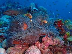 PB070336 (eric_pesme) Tags: maldives plongée underwater