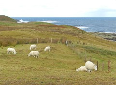 Sheep at Portskerra, Sutherland, Sep 2018 (allanmaciver) Tags: sheep portskerra sutherland north coast scotland animals waves sea blue weather cold raw green field fence allanmaciver