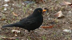 MGM036783 (Mario Giner) Tags: aves bird birding canon afa alcoi 7d mario naturaleza