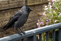 Jackdaw (42jph) Tags: nikon d7200 bird wildlife nature uk england hayfield peak district jackdaw corvid derbyshire