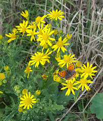 Small Copper Butterfly (Lycaena phlaeas) (1) (alisondickens1) Tags: smallcopperbutterfly lycaenaphlaeas