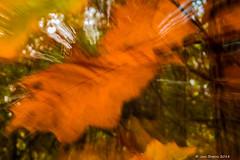 Octobre - avec Francis Cabrel (Jan Bogers) Tags: herfst automne janbogers d800 eikenblad feuille chêne oak leaf francis cabrel herfstkleur herfstkleuren mélancolie melancholie autunno autumn herfstbladeren herfstblad forêt bos