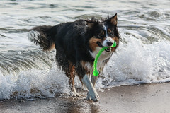 Ki and Floaty Stick (sharongellyroo) Tags: ki bordercollie beach seaside sea september norfolk wintertononsea dogfriday