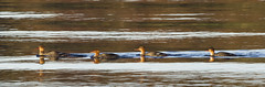 Follow the leader (Svein K. Bertheussen) Tags: toppdykker podicepscristatus greatcrestedgrebe birds fugler dykkere rogaland norge norway wilslife birdlife dyreliv fugleliv