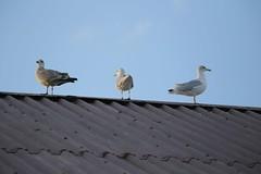 IMG_1198 Seagulls in Stonehaven (Fernando Sa Rapita) Tags: stonehaven scotland escocia seagulls gaviotas canon canoneos eos6d teleobjetivo tamron tamron150600