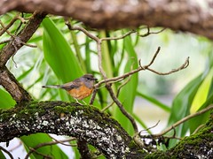 Identify that Bird? Bird on a Mossy Branch in Kauai, Hawaii, USA (Seymour Lu) Tags: feathers wings trees branch leica vario dcgh5 gh5 lumix panasonic usa hawaii anini kauaii nature resting finch animals mossy moss branches green brown birds bird