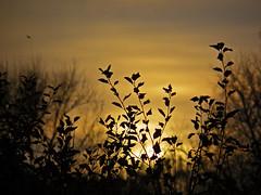 Sunset (janepesle) Tags: sunset sundown nature tree plant light sky sun autumn fall