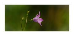 --- Wildflower --- (~Scimo~) Tags: natur bokeh sony rx10 blüte rosa pink flower nature blossom campanula bellflower glockenblume macro zeiss dof scimo
