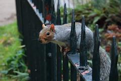 Londoner (ryorii) Tags: londra london squirrel scoiattolo park parco