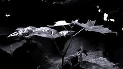 Grape leaves. (ALEKSANDR RYBAK) Tags: монохромный макро крупный план листья виноградные чёрное белое свет тень monochrome macro closeup leaves grape black white shine shadow