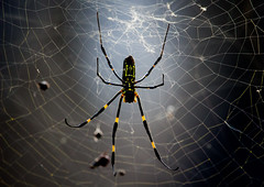 SpotlightSpidey (mehtab94) Tags: nature spider spiders summer fall wildlife natgeo scary halloween insect web cobweb colors garden