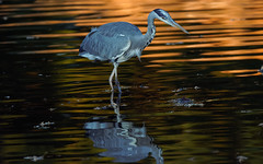 a Heron fishing at sunset (2/3) (Franck Zumella) Tags: fish fishing pecher under tree arbre heron hot chaud beak open bec ouvert nature animal summer été ete bird oiseau isle ile lake lac night nuit red rouge sunset couchant soleil sun light lumiere