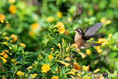 DSC_0684.jpg (Augusto Ilian G) Tags: colibrípechipunteado adelomyiamelanogenys speckledhummingbird