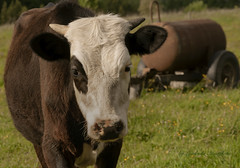 Young bull (Lyutik966) Tags: bull cattle animal horns muzzle eyes farm agriculture village pasture grass nazimovo russia coth coth5