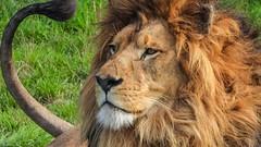 lion - 5974 (ΨᗩSᗰIᘉᗴ HᗴᘉS +24 000 000 thx) Tags: p1000 nikonp1000 coolpixp1000 nikon lion fauve pairidaiza hensyasmine namur belgium europa aaa namuroise look photo friends be wow yasminehens interest intersting eu fr greatphotographers lanamuroise animal