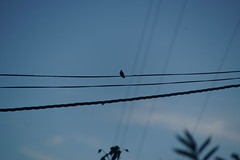 6-110 Vermoedelijk Sneeuwbuikamazilia (Gé Nielissen) Tags: 2018 peru urubamba heiligevallei kolibrie