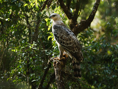 Crowned Eagle (npaprock) Tags: stephanoaetuscoronatus stephanoaetus crownedeagle africa eagle ethiopia