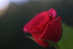 A rose for you.... (eleni m) Tags: rose flower thankyou macro outdoor appreciation dof weekend red green leaf petals