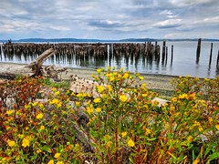wildflowers (ekelly80) Tags: tacoma washington august2018 summer rustonway commencementbay pugetsound water view flowers wildflowers wood yellow abandoned ruins sky clouds reflections beach
