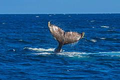 whale15Oct5-18 (divindk) Tags: anacapa anacapaisland channelislands channelislandsnationalpark humpbackwhale megapteranovaeangliae sanmiguelisland santabarbara santacruzisland santarosaisland underwater ventura blueocean cetacean diverdoug flukes marine marinemammal ocean reef sea underwaterphotography whale whaletail