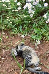 Camille's living the good life. (rootcrop54) Tags: camille female mackerel tabby rolling playing happy garden chrysanthemum daisies flowers stripes neko macska kedi 猫 kočka kissa γάτα köttur kucing gatto 고양이 kaķis katė katt katze katzen kot кошка mačka gatos maček kitteh chat ネコ