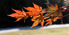 fall orange foliage (scott1346) Tags: leaves fall colors orange sunlit beauty bright autofocus 1001nights canont3i frontyard plants trees scenicwalk 1001nightsmagiccity 1001nightsmagicgarden contactgrouops