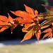 fall orange foliage