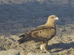 _D714653 Roofarend (johann.spies) Tags: aquilarapax kgalagadi2018 roofarend tawnyeagle voëls birds arend eagle wildlife kalahari natuurlewe natuur nature