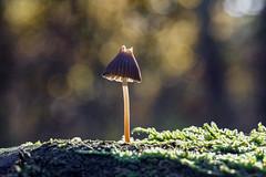 Topless (R. Engelsman) Tags: fungi fungus fungo mushroom champignon pilze paddenstoel paddestoel forest nature natuur autumn herfst herbst macro nationaalparkdeloonseendrunenseduinen deloonseendrunenseduinen netherlands nederland nl sigma105mm 105mm bokeh