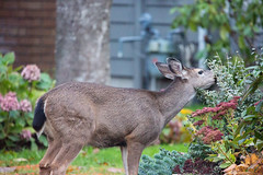 FY2 (beelzebub2011) Tags: canada britishcolumbia northvancouver street deer wildlife