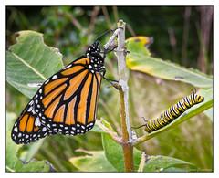 The Miracle of Nature - Metamorphosis (GAPHIKER) Tags: monarch chrysalis danausplexippus pupa caterpillar butterfly insect animal metamorphosis milkweed milk weed