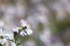 Aster tataricus      Demaria Lapierre    Manar 75mm F 3.5 (情事針寸II) Tags: oldlens nature macro bokeh flower demarialapierremanar75mmf35