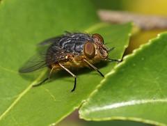 Fly (Marine Explorer) Tags: nature suburbia sydney australia marineexplorer