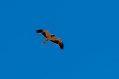 Booted Eagle - Águia-calçada - Aquila pennata (www.craigrogers.photography) Tags: eagle águiacalçada aquilapennata bootedeagle migration sagres portugal algarve birdofprey raptor