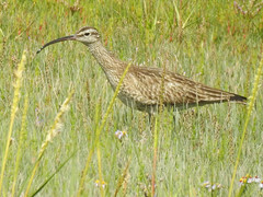 Whimbrel (numenius phaeopus) (Brian Carruthers-Dublin-Eire) Tags: charadriiformes scolopacidae numenius phaeopus whimbrel courlis corlieu regen brachvogel zarapito trinador regenwulp crotach eanaigh numeniusphaeopus courliscorlieu regenbrachvogel zarapitotrinador crotacheanaigh bird animalia animal wader may curlew whaap fowl half maycurlew maywhaap mayfowl halfcurlew nature wildlife aves avian ireland eíre grass