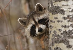 Playful cute little bandit (Guy Lichter Photography - 4M views Thank you) Tags: canon 5d3 canada manitoba rmnp wildlife animal animals rodent rodents raccoon