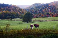 Autumn in The Highland (celticpixl) Tags: canada novascotia capebreton mabou autumn highlands cattle scener4t inverness glenora glenville