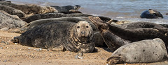 Grey Seals (BushmanW12) Tags: seal pups horsey norfolk wildlife nature beach