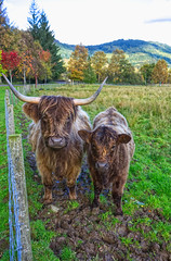 Mum & daughter highlanders (Margaret S.S) Tags: mum daughter highland cows bovine