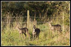 IMG_0064 Roe Deer (Scotchjohnnie) Tags: roedeer capreoluscapreolus deer fawn doe wildanimal wildlife wildlifephotography wildandfree nature naturephotography naturewildlifeandbirds mammal canon canoneos canon7dmkii canonef100400f4556lisiiusm scotchjohnnie