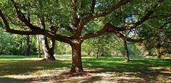 "Algerian Oak...""Quercus Canariensis"" (standhisround) Tags: trees tree algerianoak oaktree oak nature leaves fabulousfoliage foliage rbg royalbotanicalgardens kewgardens london park gardens garden uk quercuscanariensis htmt treemendoustuesday"